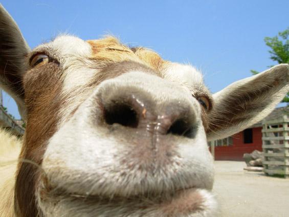 Заблагодарете им на козите за кафето