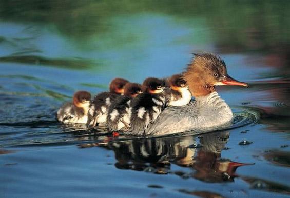 Животните како грижливи родители
