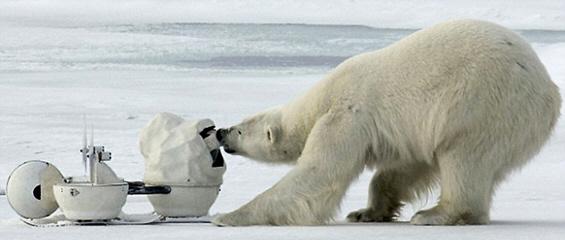 Шпион-камера помеѓу поларните мечки