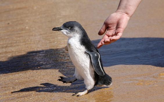 Пингвин кој има скокот?