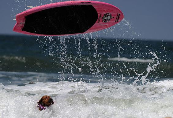 Натпревар помеѓу кучиња – сурфери на бранови