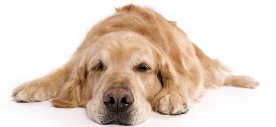 Каква диета му е потребна на вашето полничко куче?