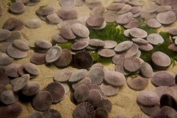 Сплескан морски еж кој самиот се клонира