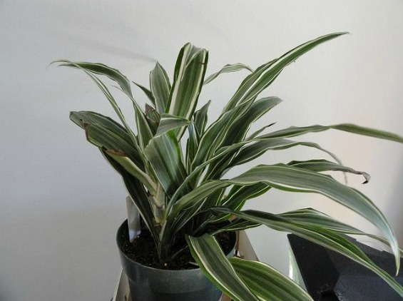 Совети за одгледување собни растенија - дрво на животот