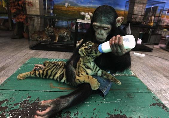 Мајмунка и тигарче се однесуваат како мајка и бебе