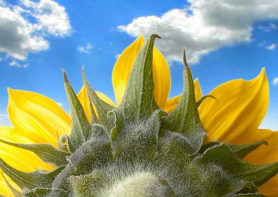 Чудната историја на сончогледот