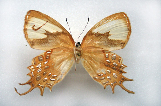 Дизајнирани пеперутки