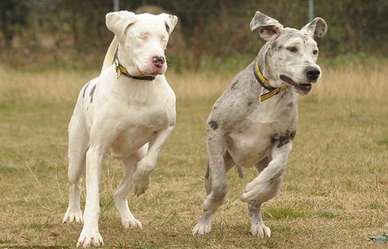 Вистинско другарство: Кучката Медисон се грижи за слепата кучка Лили