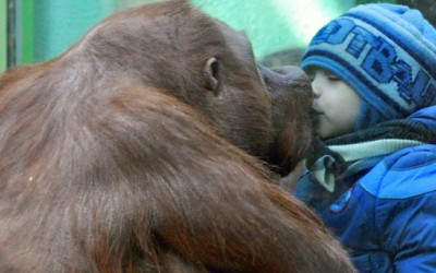 Орангутан бакнува мало момче в уста