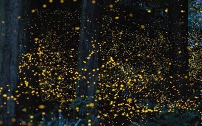 Танцот на златните светулки