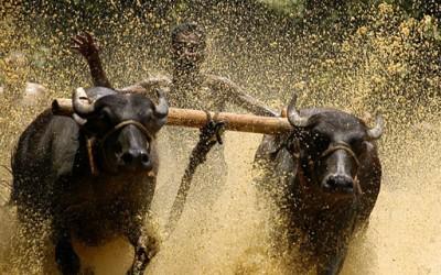 Сурфање на бикови во Индија
