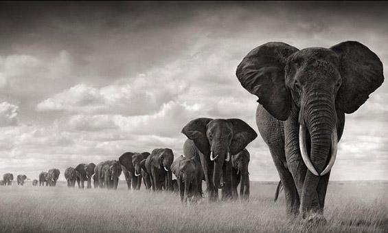 Топ 10 факти за слоновите