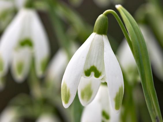 Кокиче - предвесник на пролетта