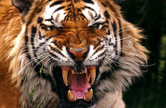 Моќниот и величествен тигар