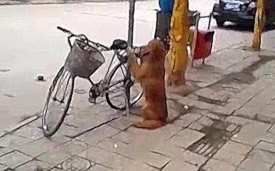 Златен ретривер му го чува велосипедот на газдата