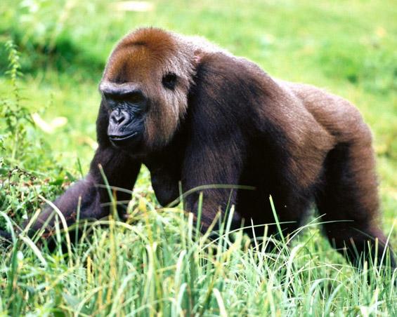 Извонредни фотографии и факти за горилата