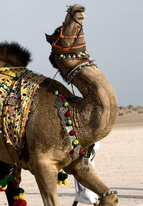 Уметнички потстрижани камили