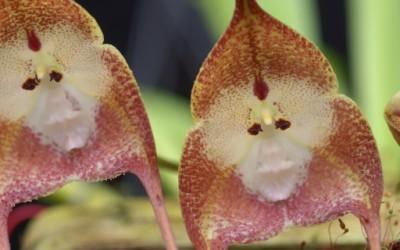 Мајмунска орхидеја