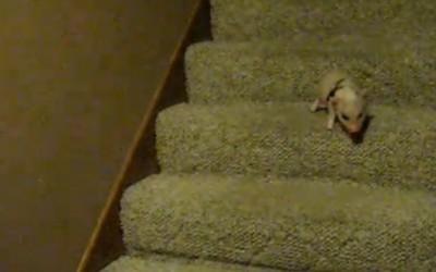 Малото прасе Хамлет го победува својот страв од скали