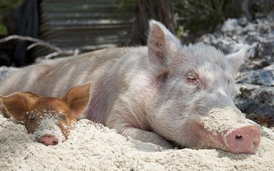 Најсреќните свињи на светот