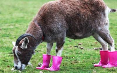 """Коза во """"кул"""" розови чизмички"""