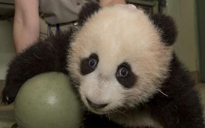 Мило бебе-панда си игра со голема топка