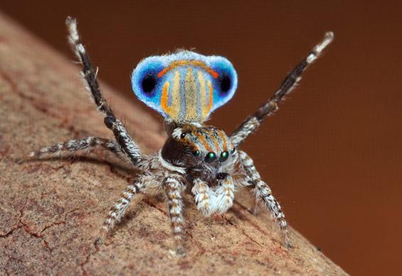 Шарени скокачки пајачиња со додворувачки способности