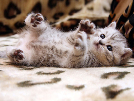 Колку високо може да скокне мачка?
