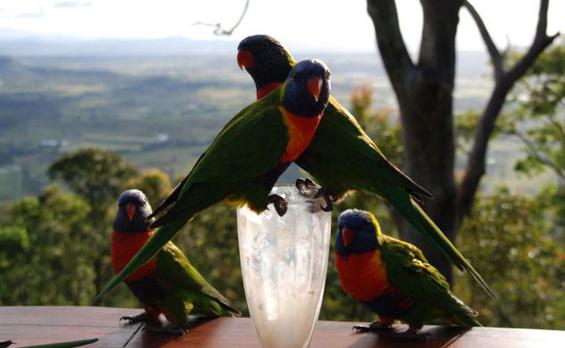 Безобразни папагали пијат туѓ милкшејк