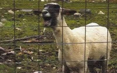 Кози кои врискаат како луѓе