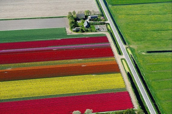 Прекрасните колоритни полиња со лалиња во Холандија