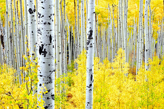 Разнобојните дрвја во Колорадо