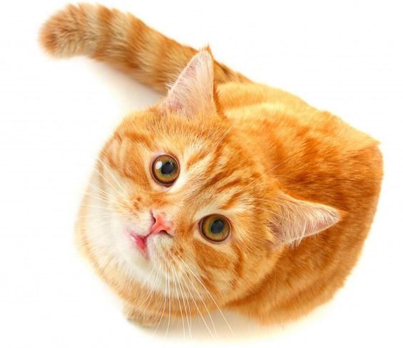 """Мачки кои знаат да кажат """"Хелоу"""""""