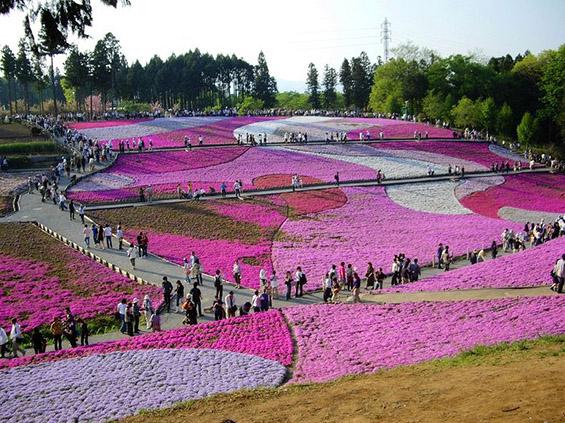 Природните цветни розови теписи во Јапонија