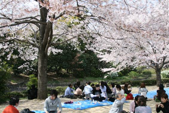 Уживањето во расцветаните црешови дрвја во Јапонија