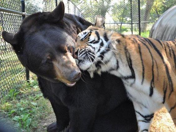Хармонично пријателство меѓу мечка, лав и тигар