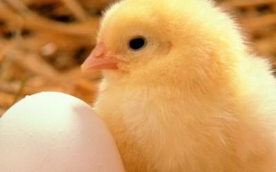 Конечно одговорено! Што било прво, јајцето или кокошката?
