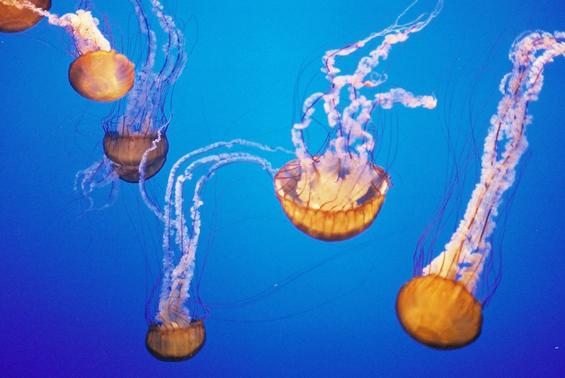 """Што да правите кога ќе ве """"касне"""" медуза?"""