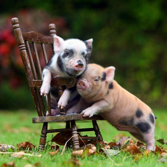 Мали слатки прасенца кои ќе ви го направат денот поубав