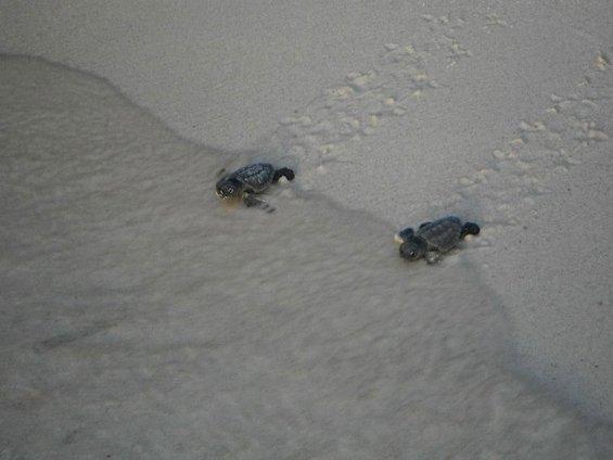 Волонтери им помагаат на мали желчиња да го најдат својот пат до морето