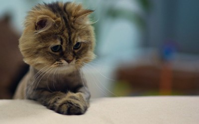 Најслаткото маче во светот се претвори во лавче