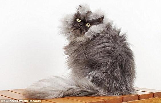 Мачорот со најдолго крзно во светот