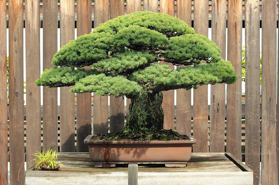 Нема да верувате што преживеало ова бонсаи дрвце