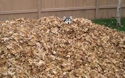 Сибирска хаска се радува во куп суви лисја