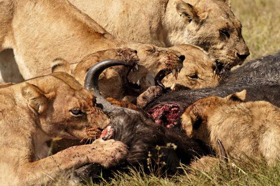 Како да им го украдете месото на лавовите?