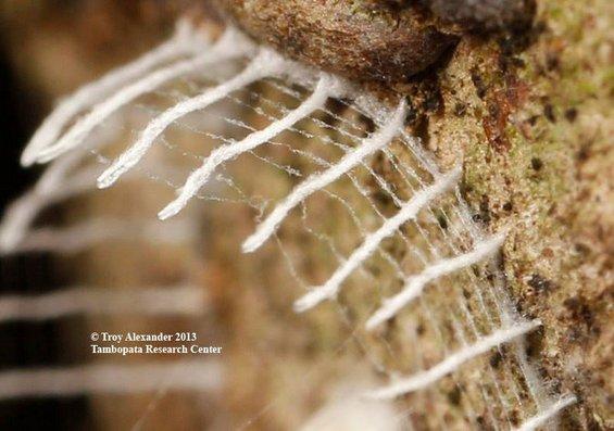Мистериозна бубачка гради кула опколена со ограда