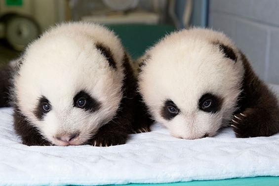 Првите 100 дена од животот на две мали панди
