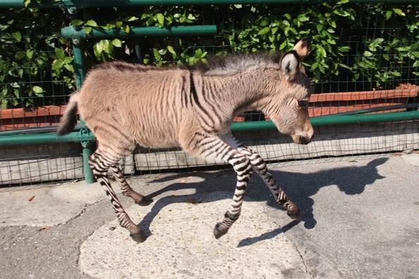 Вака изгледа детенце на магарица и зебра