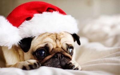 30 мопсови подготвени за новогодишните празници