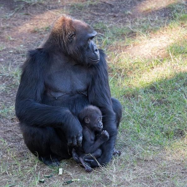 Бебе-горила во грижливите раце на неговата мила баба